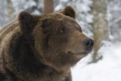 Het portret van wilde Rus draagt. Stock Afbeeldingen