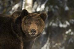 Het portret van wilde Rus draagt. Royalty-vrije Stock Foto's