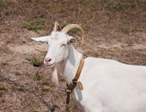 Het portret van witte geit Stock Foto's