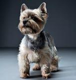 Het portret van Yorkshire Terrier in een donkere studio Royalty-vrije Stock Afbeelding
