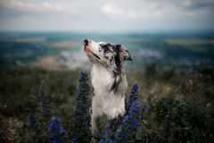 Het portret wit border collie zit bij de bergen in bloemen royalty-vrije stock foto