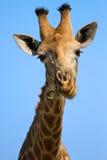 Het portretclose-up van girafhoofd tegen een blauwe hemel kauwt Stock Foto