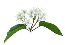 Het Prieel Wildflower van mannelijk Virgin royalty-vrije stock foto's