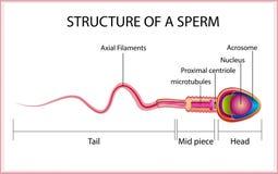Het PrintOnesperma is menselijk sperma In de witte rug stock illustratie