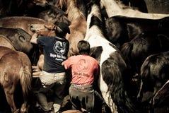 Het proberen om een wild paard te bedwingen Stock Fotografie