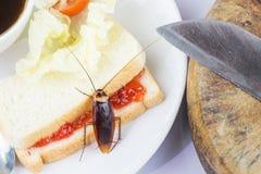 Het probleem in het huis wegens kakkerlakken die in de keuken leven Kakkerlak die geheel tarwebrood op witte backgroundIsola eten royalty-vrije stock fotografie