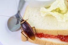 Het probleem in het huis wegens kakkerlakken die in de keuken leven Kakkerlak die geheel tarwebrood op witte backgroundIsola eten stock afbeeldingen