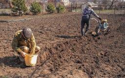 Het proces om aardappels te planten Twee mensen planten aardappels Stock Afbeeldingen