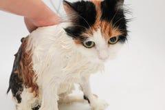 Het proces om de kat in de badkamers te wassen Natte en ongelukkige kat royalty-vrije stock foto