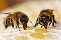 Het proces om nectar in honing om te zetten Royalty-vrije Stock Fotografie