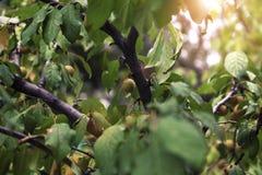 Het proces van abrikoos het rijpen royalty-vrije stock fotografie