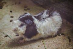 Het proefkonijn is een zoogdier van cuteness stock afbeelding