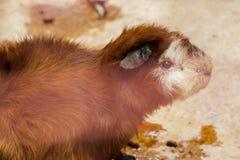 Het proefkonijn is een zoogdier van cuteness royalty-vrije stock foto