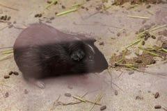 Het proefkonijn is een zoogdier van cuteness stock afbeeldingen