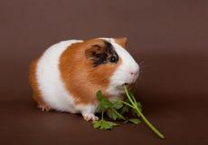 Het proefkonijn eet groen stock afbeeldingen