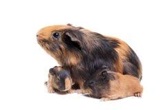 Het Proefkonijn van de moeder en haar baby Royalty-vrije Stock Foto's