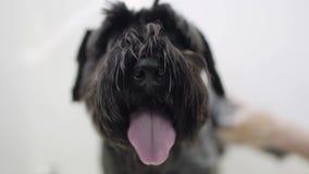 Het professionele dier groomer behandelt het dier Groomerhanden die aanbiddelijk zwart puppy in een het verzorgen hondsalon wasse stock footage