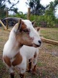 Het Profiel van de geit Stock Foto