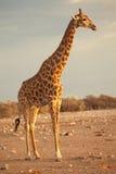 Het profiel van de giraf Stock Afbeelding