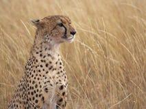 Het profiel van de jachtluipaard stock fotografie