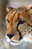 Het profiel van de jachtluipaard Royalty-vrije Stock Foto's