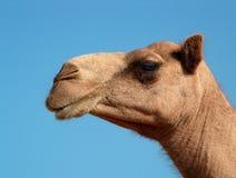 Het profiel van de kameel stock afbeelding
