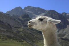 Het profiel van de lama en de Bergen van de Pyreneeën Stock Afbeelding