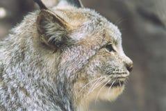 Het Profiel van de lynx Stock Afbeeldingen