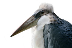 Het profiel van de Ooievaar van de maraboe, witte achtergrond royalty-vrije stock foto's