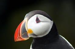 Het profiel van de papegaaiduiker Stock Afbeelding