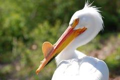 Het profiel van de pelikaan Stock Afbeeldingen