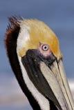Het profiel van de pelikaan Stock Foto's