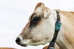 Het profiel van de het rassen melkkoe van Jersey royalty-vrije stock foto