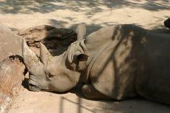 Het profiel van de rinoceros Stock Fotografie