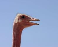 Het profiel van de struisvogel stock afbeelding