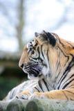 Het profiel van de tijger stock foto