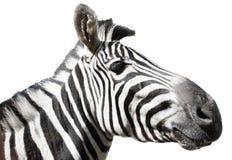 Het profiel van de zebra Stock Afbeelding