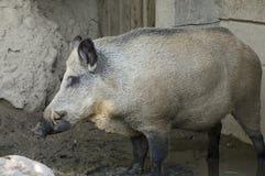 Het Profiel van het Everzwijn stock fotografie