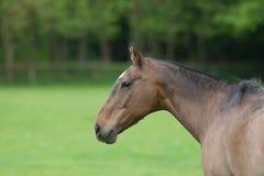 Het Profiel van het paardhoofd Stock Afbeelding