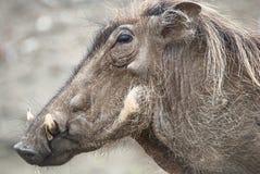 Het profiel van het wrattenzwijn Stock Afbeelding