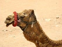 Het profielportret van de kameel Stock Afbeelding