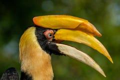 Het profielportret van grote hornbill, opent half met zijn bek royalty-vrije stock foto's