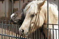 Het Prozhivalskypaard glijdt zijn hoofd door de omheining uit royalty-vrije stock afbeeldingen