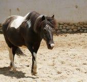 Het Prozhivalskypaard glijdt zijn hoofd door de omheining uit royalty-vrije stock afbeelding