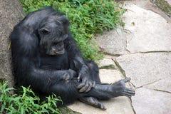 Het pruilen van chimpansee die op rots leunen stock afbeelding