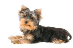 Het puppy Stock Foto