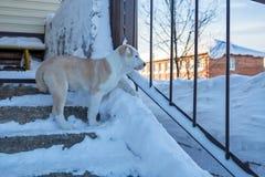 Het puppy Alabai bevindt zich op de portiek en bekijkt de straat Stock Foto's