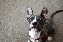 Het puppy is alle oren Stock Foto's