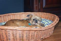 Het puppy Brusselse Griffon kauwt op een been in haar mand Royalty-vrije Stock Foto