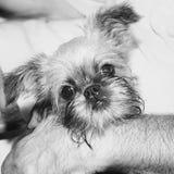 Het puppy Brusselse Griffon ligt opgetogen op haar chef- overlapping van ` s Royalty-vrije Stock Foto